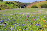 Lupine and Poppies ~ California