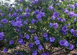 Purple Australian Native Hibiscus CC0