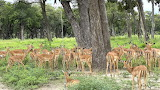 Brave Africa Impala Puzzle