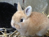 Lapin rabbit