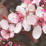 Flowers - Cherry Blossoms