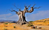 BAOBAB,the oldest and the largest tree in the world