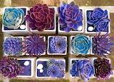 PurpleSucculents