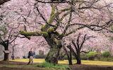 Moss covered trunks cherry blossom trees Tokyo Japan park