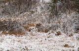 Image064 voyez vous le coyote