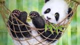 Baby Panda Bear in Hammock