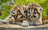 Mountain lion cubs near Boseman. Montana