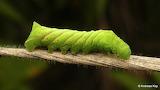 """Insects """"Sphinx moth caterpillar"""" """"Sphingidae"""" Ecuador """"Andreas"""