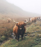 Animals - Highland Coos