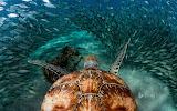Green Sea Turtle with Sardines near Playa Grandi in Curaçao