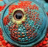 Macro - Chameleon's Eye