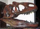 Allosaurus skull IMG 4072 p