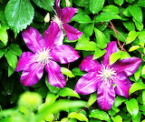Purple clematis after rain shower