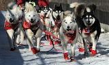 Iditarod, the great race