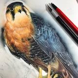 "Science tumblr scientificillustration ""Aplomado Falcon"" lwhittie"