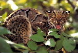 Wild Marbled Cat