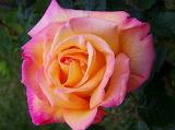 Fotos-de-flores-rosa-de-col