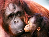 Female Sumatran Orangutan and Baby...