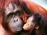 Female Sumatran Orangutan and Baby...