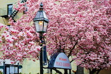 St Leonards Peace Garden Magnolia in Bloom