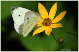 White butterfly yellow flower