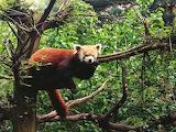 Bears - Red Panda