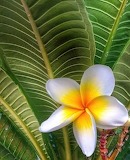 Plumeria in the desert