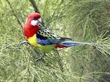 Parrot eastern rosella