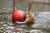 Tiger with Ball