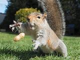 The squirrel catches the peanut
