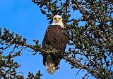 American Bald Eagle Gold Beach Oregon USA