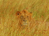 Masai Mara Lion Camouflaged