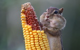 Chipmunk caught in the act