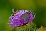 Cinnabar moth on flower