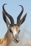 Springbok - Antelope