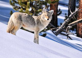 Yellowstone Coyote...