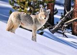 Yellowstone Coyote...
