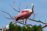Sky, leaves, branches, pink, bird, snag, roseate spoonbill