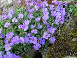 Aubrieta (gardener's bonus)