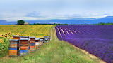 Bee Hives and Lavender, Provence