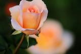 Apricot Nectar Rose...