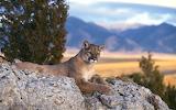 Pumas Cats