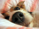 Dog-in-the-bed-