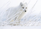 2012_NYR_02603_0063_000(paul_nicklen_arctic_fox_nunavet_northwes