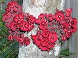 Theobroma flowers