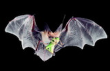 Murciélago insectívoro