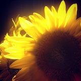 Sunflowers, Maria Popova