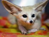 Fennec Fox at The Vet