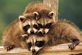 #Baby Raccoons