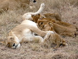 lioness with babies